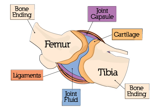 anatomy of a joint