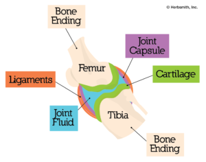 anatomical diagram of a joint
