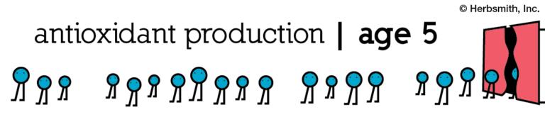 antioxidant production at age 5: about 30 (visual representation)