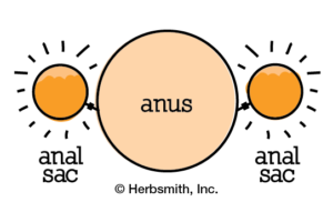 Clogged anal sacs: liquid is not expressing, making it painful & itchy for the dog