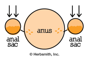 Normal anal sac function: pressure on sacs, fluid is expressed