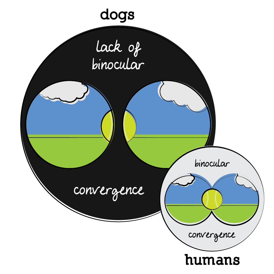 dogs lack binocular convergence (there eyes are further apart), humans have binocular convergence (but less peripheral vision)