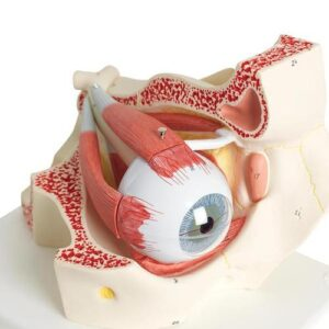 a large-scale model of the human eyeball