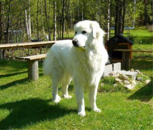 Great pyrenees outside