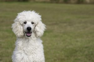 White standard poodle outside