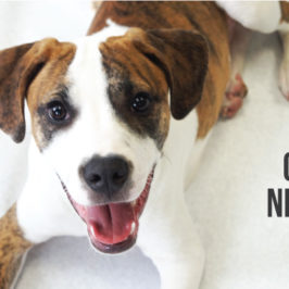 a cta photo of one of our brown and white dogs, calling to how to help calming nerves at new years