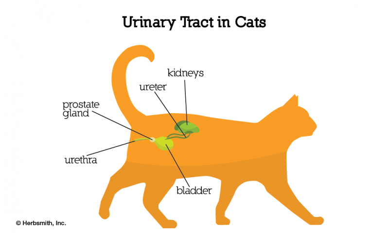 urinary tract diagram in cats