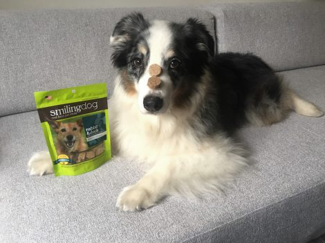 one of our dogs eating a smiling dog treats, on a gray couch