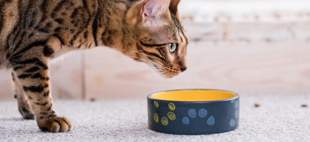 healthy pet diet. quality food and bowls. cat dinner time. beautiful bengal kitty.